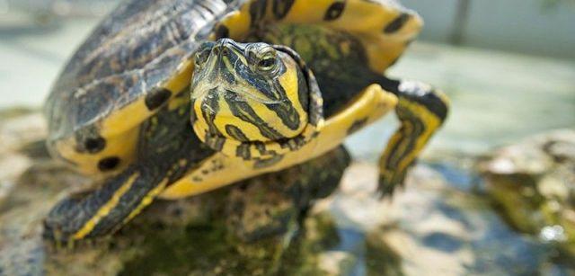 Las tortugas de Florida abandonadas son una de las principales especies invasoras de este ecosistema / Foto: Josep Cano