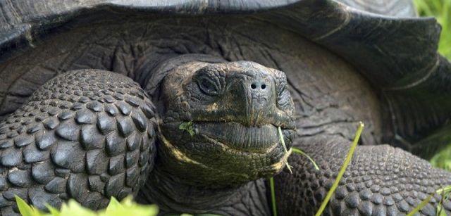 La 'Chelonoidis donfaustoi', una nueva tortuga gigante de las islas Galápagos (Ecuador) / Foto: Washington Tapia
