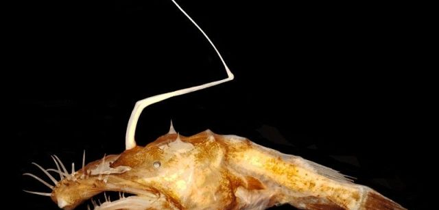 El nuevo rape 'Lasiognathus dinema' fue descubierto en el Golfo de México / Foto: : Theodore W. Pietsch - University of Washington