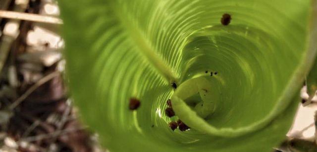 El 'Phytotelmatrichis osopaddington' es tan pequeño que para cubrir una pulgada habría que poner en fila a 25 de ellos / Foto: Michael Darby