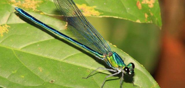 El 'Umma gumma' es uno de los numerosos caballitos del diablo y libélulas identificados en África el pasado año / Foto: Jens Kipping