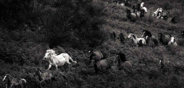 Perseguidos por los 'aloitadores', un grupo de caballos bajan de las montañas donde viven en semilibertad todo el año / Foto: Javier Arcenillas