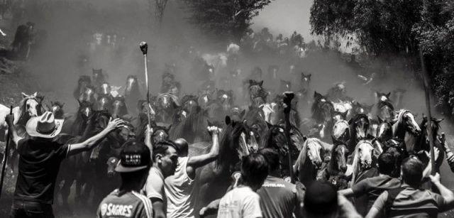 La manada llega al trote al pueblo de Sabucedo levantando a su paso una gran nube de polvo / Foto: Javier Arcenillas