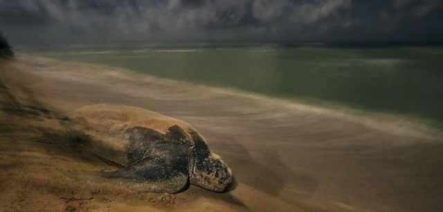 La tortuga laúd regresa al mar tras depositar sus huevos en una playa de las islas Vírgenes estadounidenses / Foto: Brian Skerry - Wildlife Photographer of the Year
