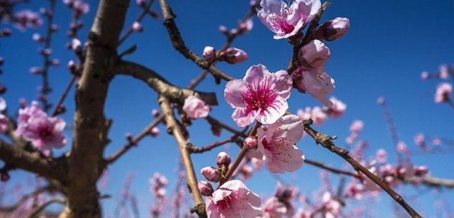 Cada una de las pequeñas flores rosadas, polinizada por el viento o las abejas, da lugar a un fruto / Foto: Josep Cano