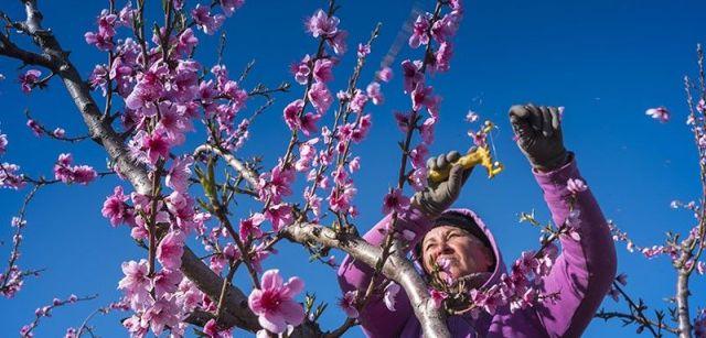 Una trabajadora elimina flores de las ramas para obtener frutos de mayor calidad / Foto: Josep Cano