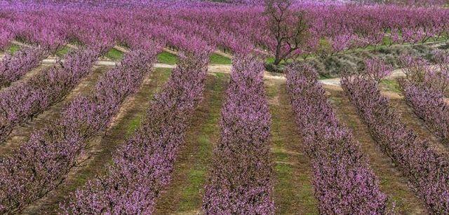 La belleza de la floración de los frutales atrae cada año a más visitantes a la comarca del Segrià / Foto: Josep Cano