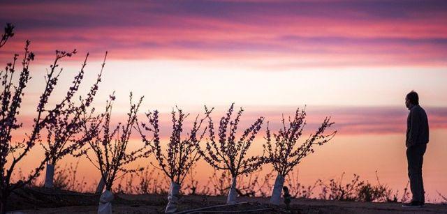 La puesta de sol tiñe el cielo de un color similar al de las flores de los melocotoneros / Foto: Josep Cano