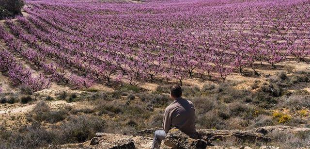 El regadío permitió sembrar de frutales unas tierras tradicionalmente dedicadas al cereal / Foto: Josep Cano