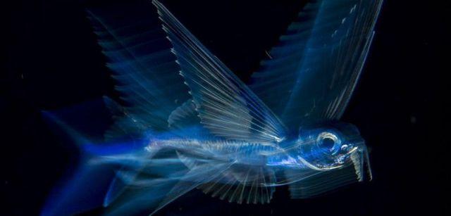 Pez volador en movimiento. Tercer premio individual de la categoría de Naturaleza. Un pez volador nada bajo la superficie en la corriente del Golfo a altas horas de la noche, en Palm Beach, Florida, EE UU / Foto: Michael Patrick O'Neill (Estados Unidos)