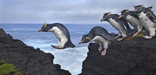 Saltar. Segundo premio individual de la categoría de Naturaleza. Los pingüinos de penacho amarillo hacen honor a su nombre mientras navegan por la costa de la isla Marion, en el Océano Índico / Foto: Thomas P. Peschak (Alemania / Sudáfrica)