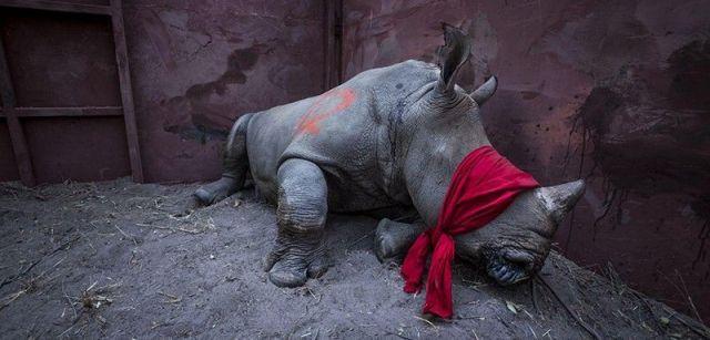 Esperando la libertad. Primer premio individual de la categoría de Medio Ambiente. Un rinoceronte blanco del sur, drogado y con los ojos vendados, va a ser liberado en la naturaleza en el delta del Okavango, Botswana / Foto: Neil Aldridge (Sudáfrica)