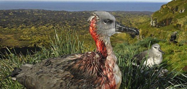 Ataque del ratón zombi. Segundo premio individual de la categoría de Medio Ambiente. Un albatros juvenil de cabeza gris en la Isla Marion, Territorio Antártico Sudafricano, después de un ataque de ratones / Foto: Thomas P. Peschak (Alemania / Sudáfrica)