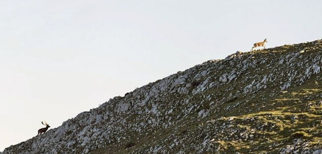 Un macho de gamo persigue a una hembra por una cresta caliza de la sierra del Sueve / Foto: Roger Rovira