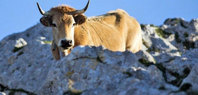 Los gamos compiten por los pastos con el abundante ganado vacuno de la zona / Foto: Roger Rovira