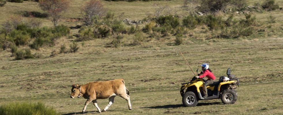 Una ganadera emplea un quad para seguir a sus reses en la Braña (aldea usada por los 'vaqueiros' en los pastos altos de verano) de Endriga, en las Morteras de Saliencia  / Foto: Roger Rovira