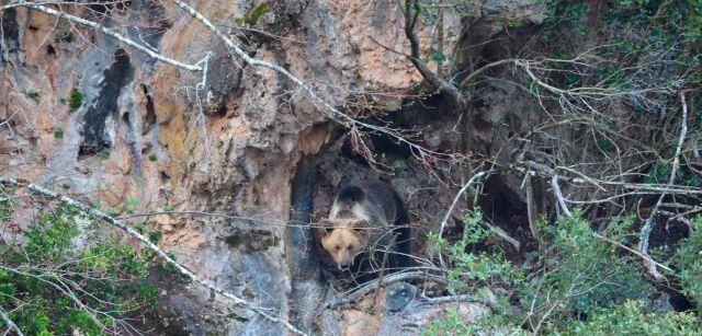 Una hembra saliendo al exterior de la cueva donde se oculta su 'esbardo' (como se llama a los oseznos en Asturias) / Foto: Juan Díaz - Patrulla Oso del Principado de Asturias