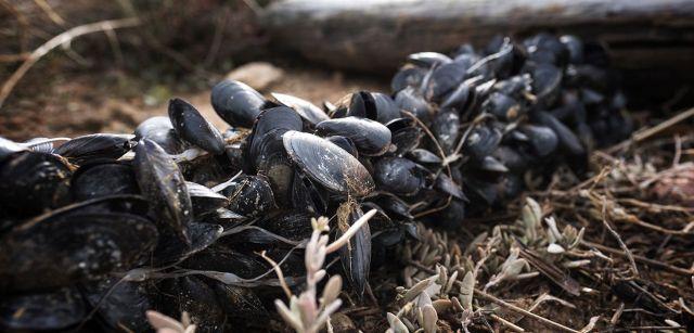 Ristras de mejillones de la bahía del Fangar lanzados decenas de metros tierra adentro por la fuerza del oleaje / Foto: Josep Cano